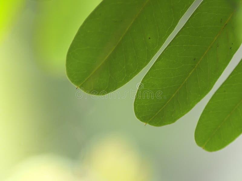 Tre gröna sidor för ellips i morgonljuset royaltyfria bilder