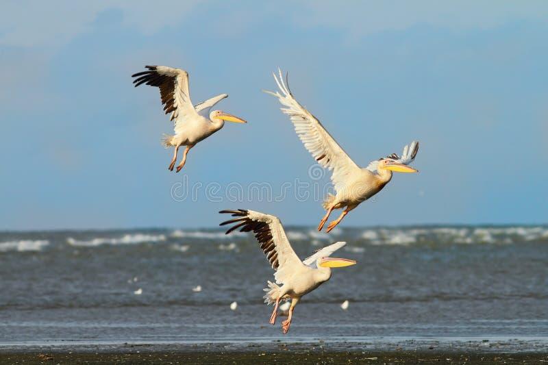 Tre grandi pellicani che prendono volo sopra il mare fotografia stock