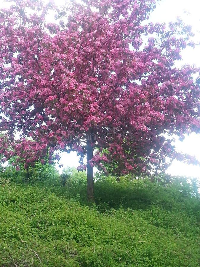 Tre green pink cerry natur stock photos