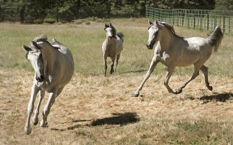Tre Grey Arabian Horses Running Free fotografia stock libera da diritti