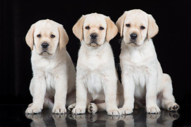 Tre gula labrador valpar på svart royaltyfria bilder