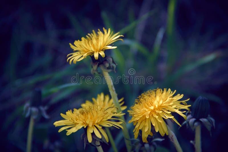 Tre gula maskrosblommor med utbredd bakgrund för grönt gräs royaltyfri bild