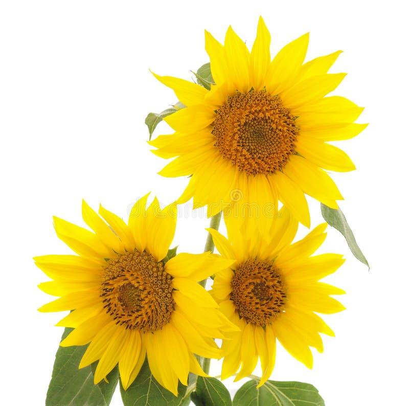 Tre gula solrosor arkivbild