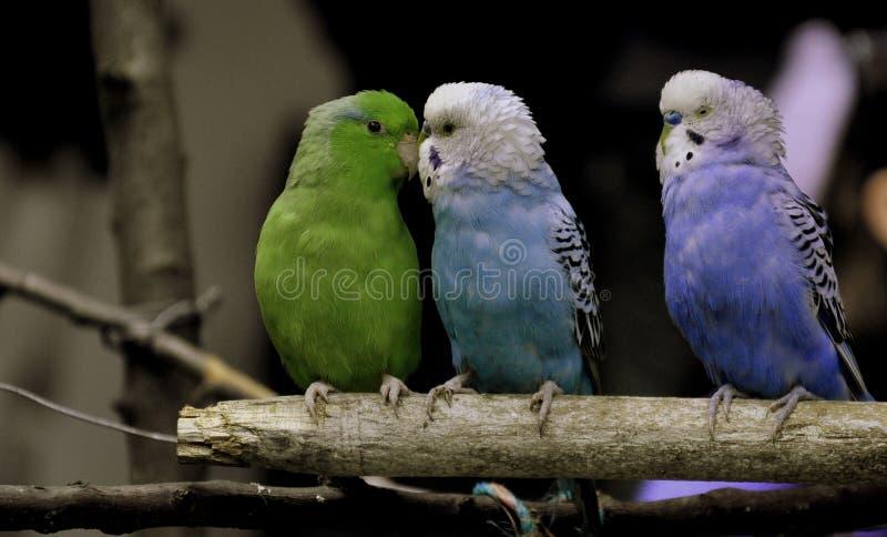 Tre gulliga fåglar tillsammans som vänner arkivfoton