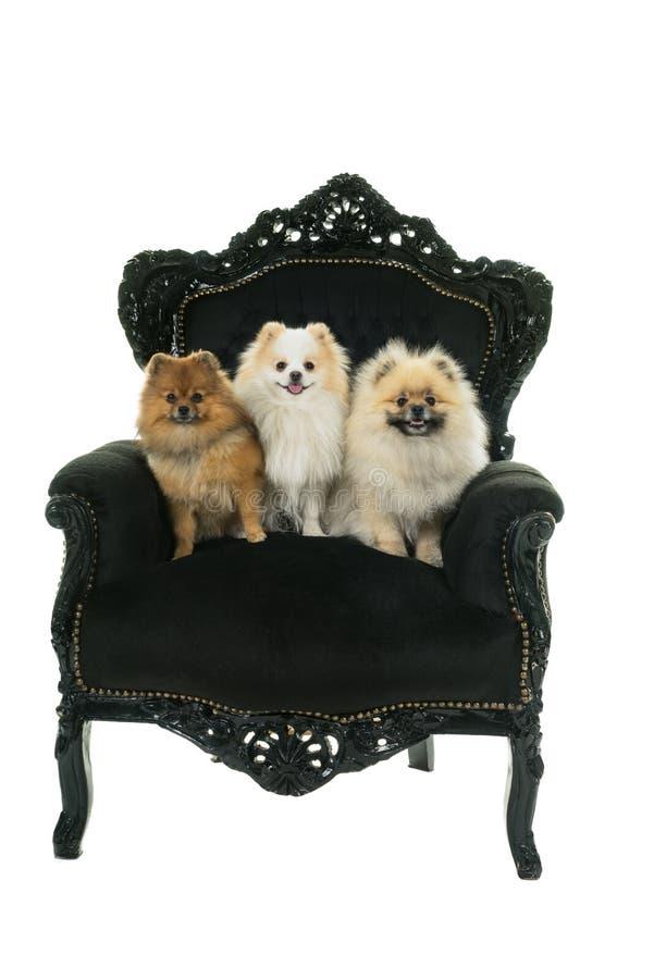 Tre gulliga kräm- och bruna Pomeranian - dvärg- Spitzhundkapplöpning som sitter i en isolerad svart barock stol på en vit bakgrun arkivfoto