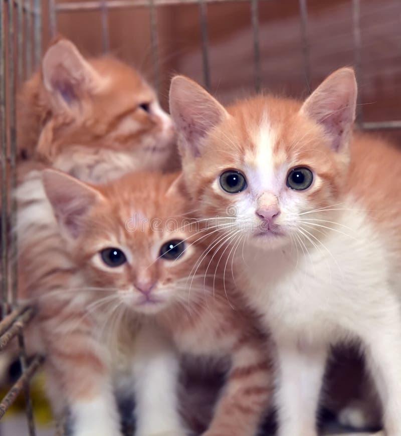 Tre gulliga röda kattungar royaltyfri fotografi