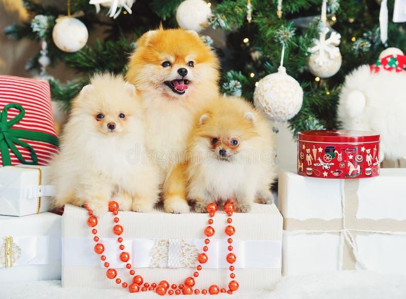 Tre gulliga spitzhundkapplöpningvalpar under julgranen royaltyfri fotografi