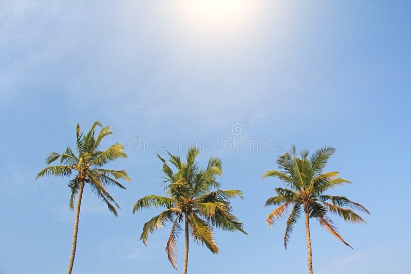 Tre härliga palmträd mot den blåa himlen och den ljusa solen royaltyfri fotografi