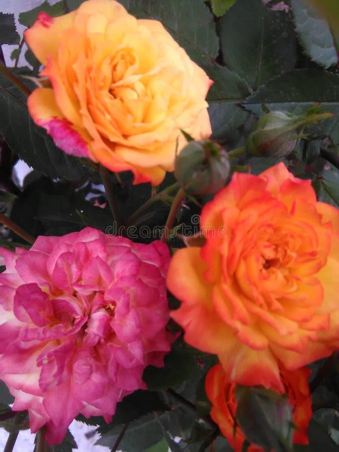 Tre härliga rosor arkivfoto