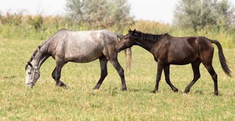 Tre hästar i en beta i natur fotografering för bildbyråer
