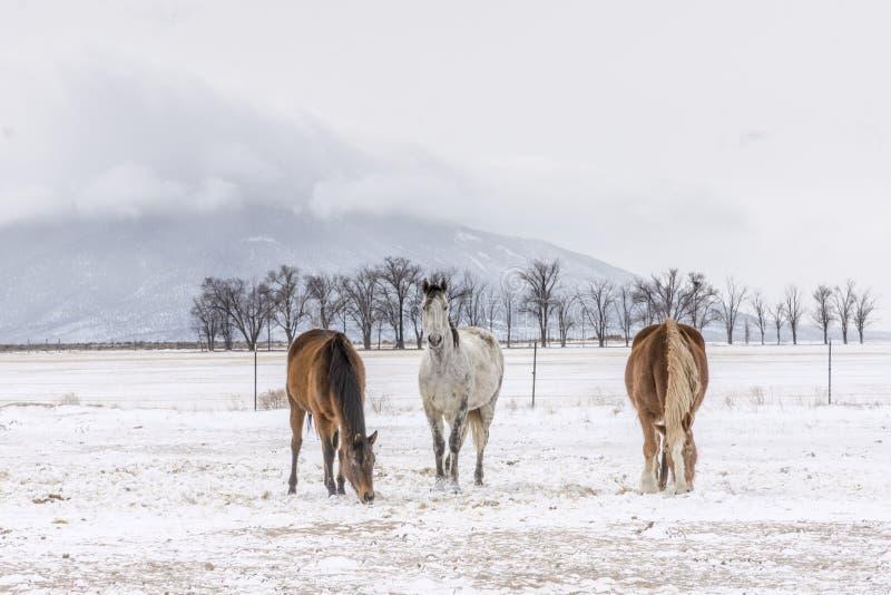 Tre hästar med uteberget i vinter arkivbilder
