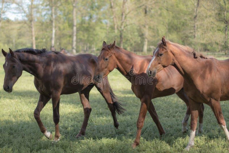 Tre hästar på ett fält, träd som bakgrund royaltyfria foton