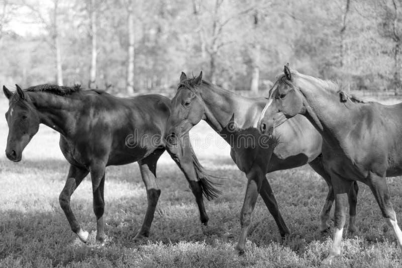 Tre hästar på ett fält, träd som bakgrund arkivbild