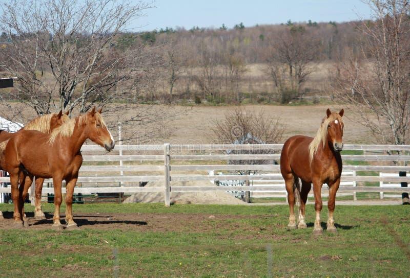 Tre hästar på grönt gräs i vit fäktat fält royaltyfri foto