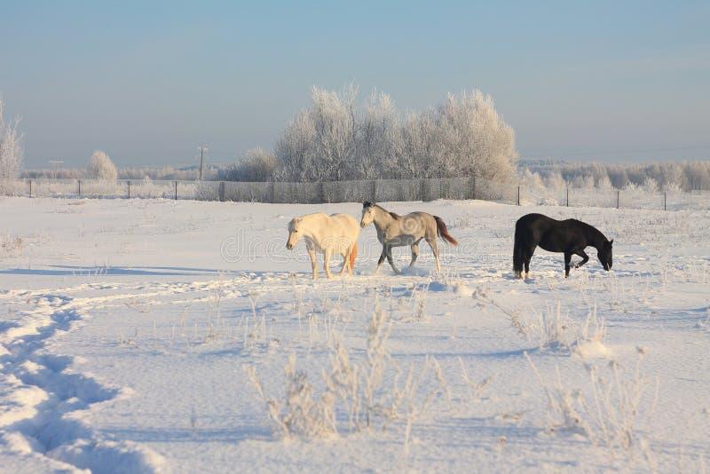 Tre hästar som är utomhus- i vinter royaltyfri fotografi