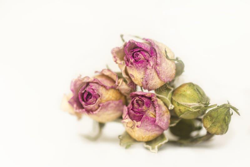 Tre hanno asciugato la rosa di rosa con i germogli non aperti su un fondo bianco, immagini stock libere da diritti
