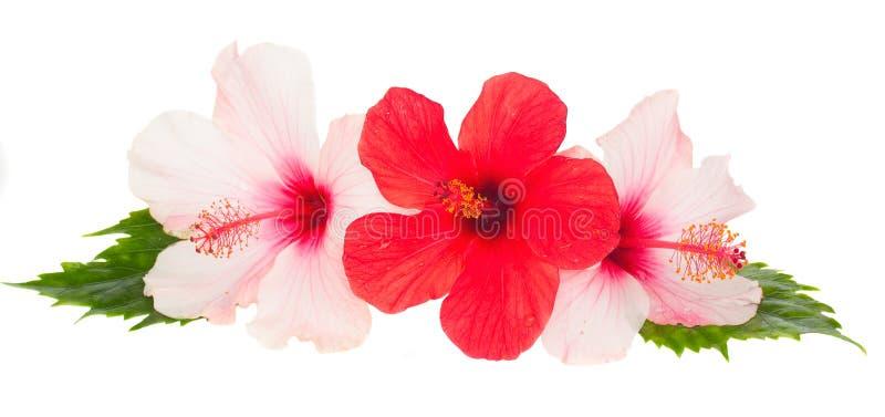 Tre hibiskusblommor arkivbild