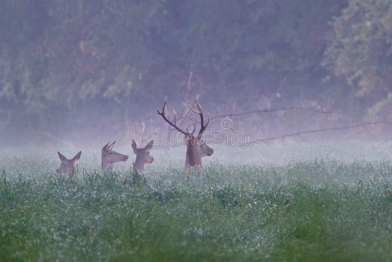 Tre hinds e cervi nobili nella mattina nebbiosa fotografie stock