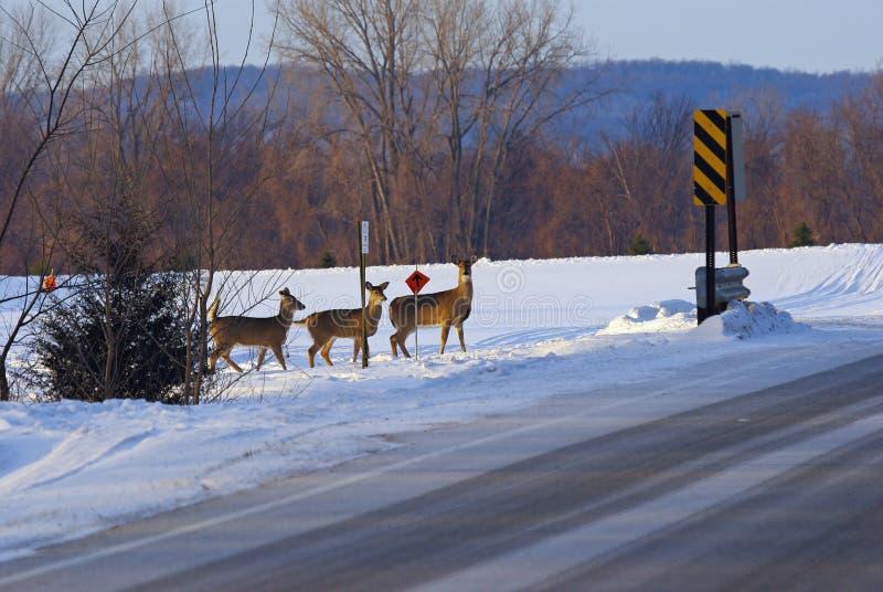 Tre hjortar som korsar en väg i vinter royaltyfri bild
