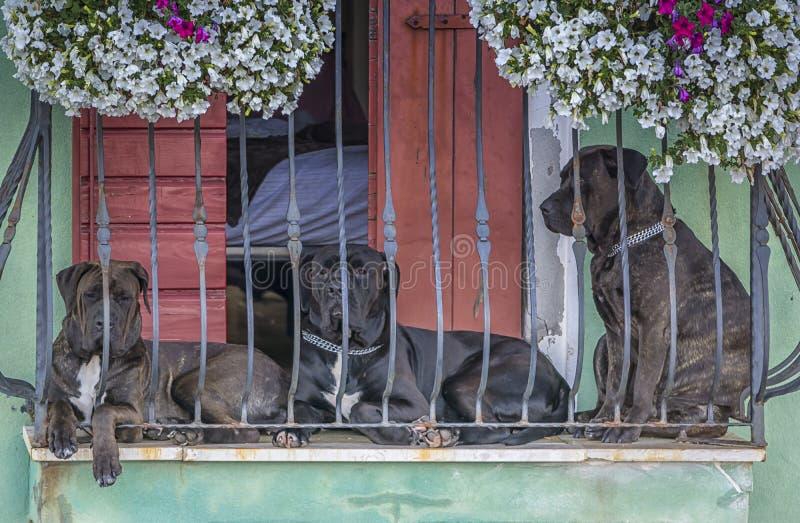 Tre hundar på balkongen royaltyfri bild
