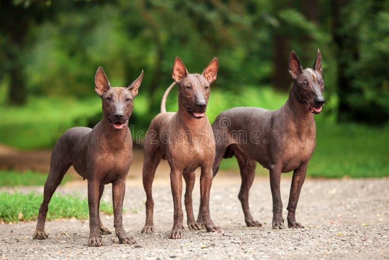 Tre hundkapplöpning av Xoloitzcuintli föder upp, mexikansk hårlös hundkapplöpning som utomhus står på sommardag royaltyfri fotografi