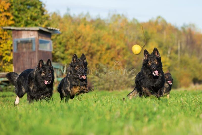 Tre hundkapplöpning som kör för en boll royaltyfria foton