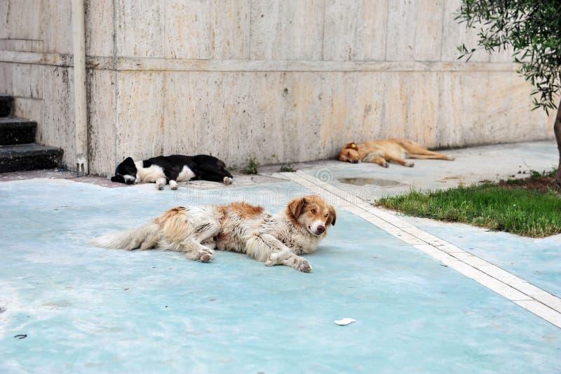 Tre hundkapplöpning som sover på trottoar i Durres, Albanien royaltyfria bilder