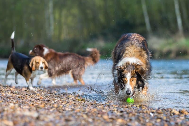 Tre hundkapplöpning som spelar i en flod fotografering för bildbyråer