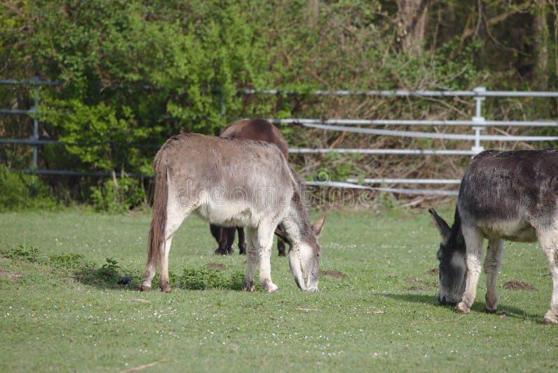 Tre inhemska åsnor som betar på ett grönt fält royaltyfri bild