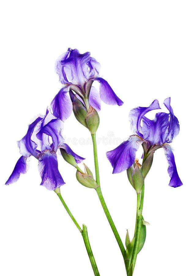 Tre iridi viola immagine stock