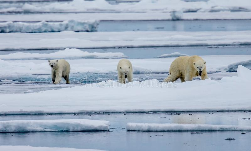 Tre isbjörnar, kvinnlig med två gröngölingar går på isisflak i arktisk royaltyfri fotografi