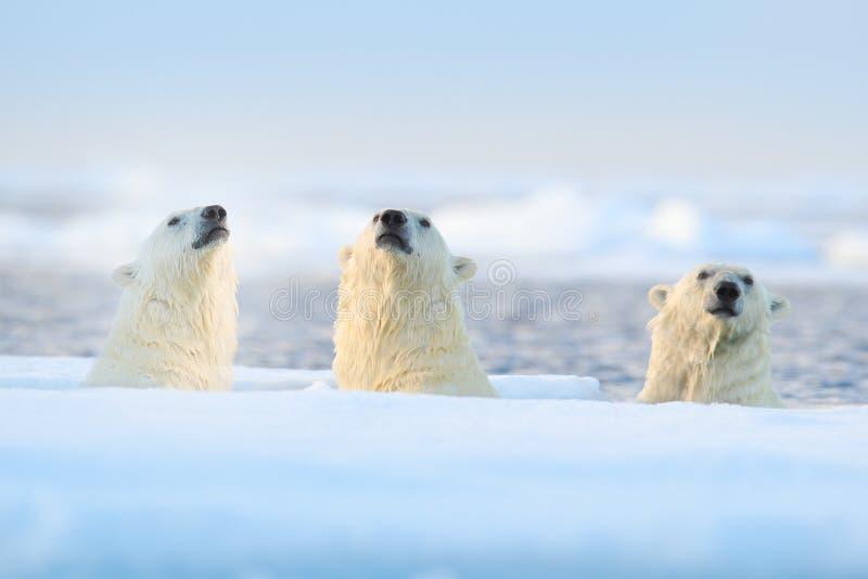 Tre isbjörnar på drivais, Svalbard, Norge Sällsynt djurlivplats från naturen, kall vinter med insnöat arktisken angus fotografering för bildbyråer