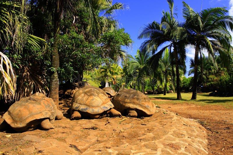 Tre jätte- sköldpaddor (den Dipsochelys giganteaen) som sover under palmträdet i tropiskt, parkerar i Mauritius arkivbilder