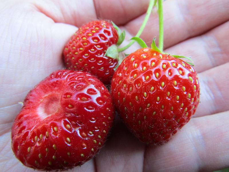 Tre jordgubbar i en kupad hand arkivfoton