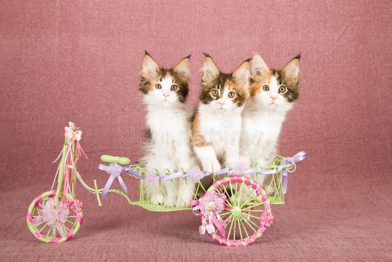 Tre kalikåMaine Coon kattungar som sitter den insida dekorerade vagnen för vit metall som dekoreras med band och pilbågar arkivbild