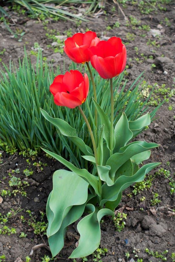 Tre karmosinröda röda blommor av tulpan arkivbilder