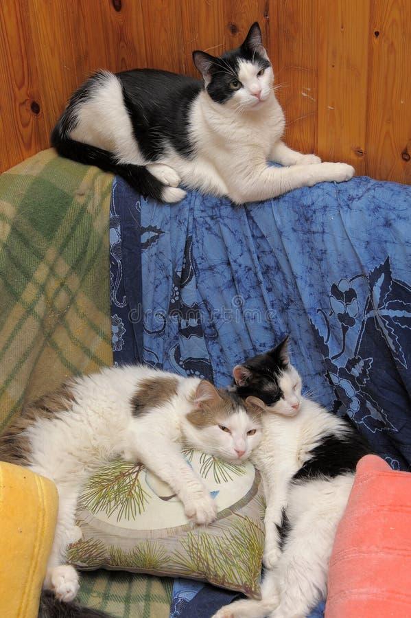Tre katter som ligger på en soffa arkivfoto