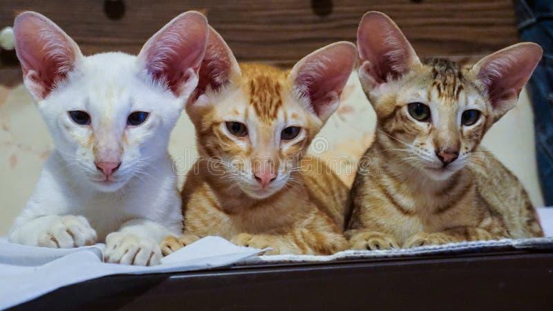 Tre kattungar, brunt, rött och vitt, av den orientaliska aveln vilar efter glade lekar arkivfoto