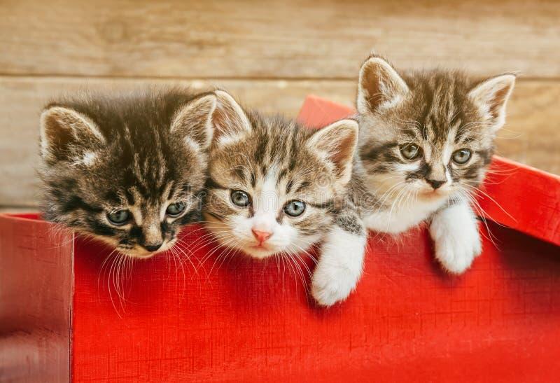 Tre kattungar som sitter i en röd ask royaltyfri foto