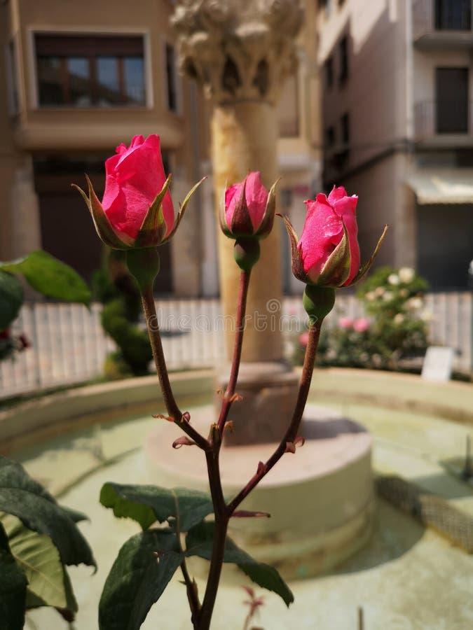 Tre knoppar av rosor fotografering för bildbyråer