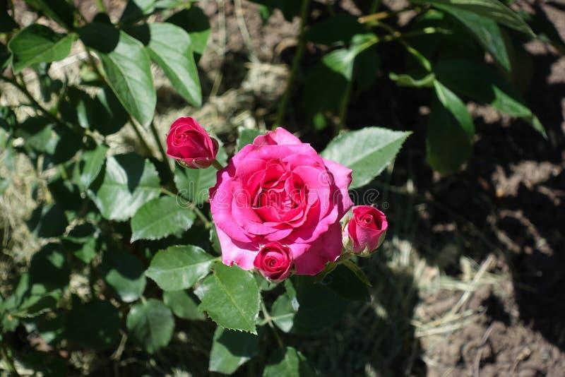 Tre knoppar och blomma av rosa ros royaltyfri fotografi