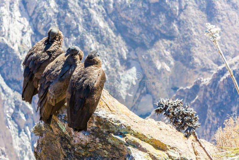 Tre kondor på Colca kanjonsammanträde, Peru, Sydamerika. Denna är en kondor den största flygfågeln arkivfoton
