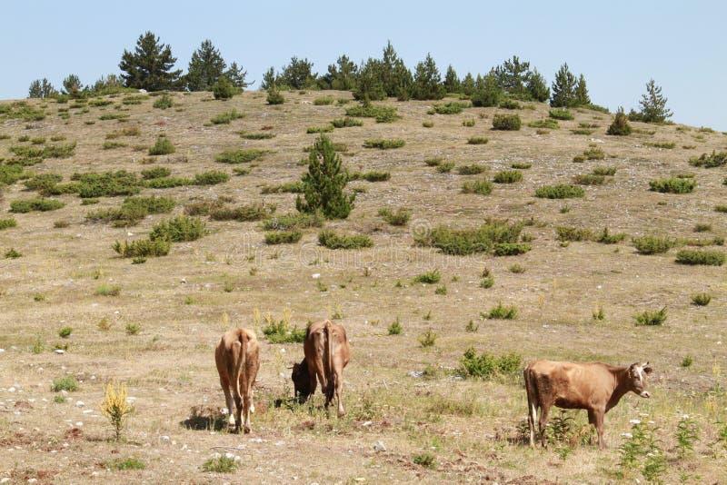 Tre kor i ängen fotografering för bildbyråer