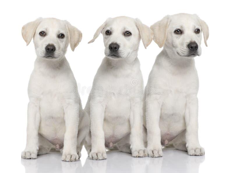 Tre kräm- labradorvalpar royaltyfria bilder