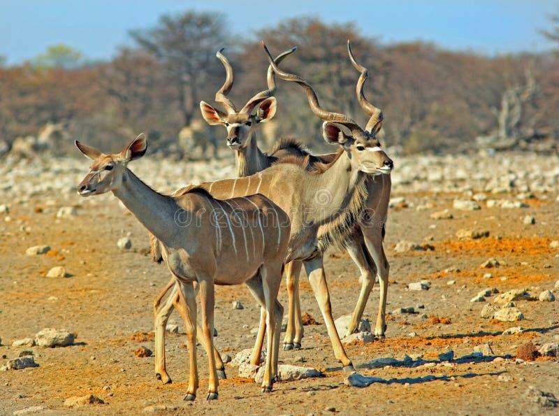 Tre Kudu på de torra slättarna fotografering för bildbyråer