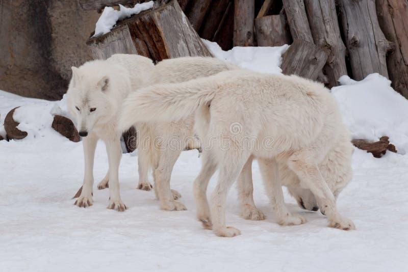 Tre lösa alaskabo tundravarger spelar på vit snö Arctos för Canislupus Polar varg eller vit varg arkivbilder