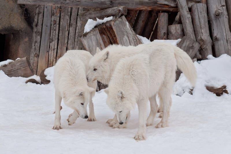 Tre lösa alaskabo tundravarger spelar på vit snö Polar varg eller vit varg royaltyfri fotografi