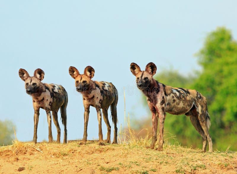 Tre lösa hundkapplöpning som ser vaken med naturlig blå himmel- och buskebakgrund i den södra Luangwa nationalparken, Zambia arkivbilder