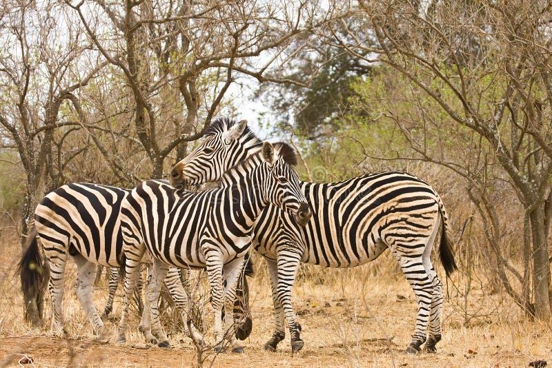 Tre lösa sebror i busken, Kruger nationalpark, Sydafrika royaltyfri foto