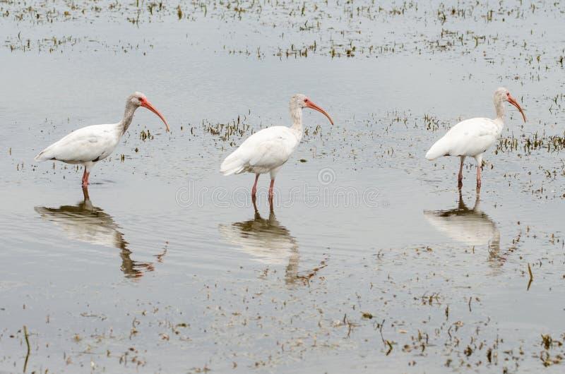 Tre l'ibis bianco, il albus di Eudocimus, uccelli ha allineato immagini stock